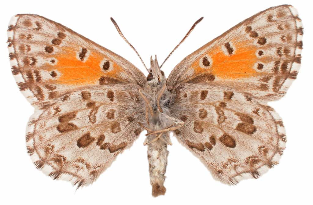 The underside of a Chequered Copper, also known as Lucia Limbaria.